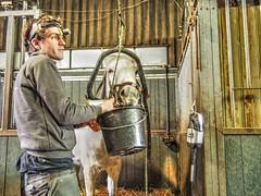 P1290098 (gill4kleuren - 11 ml views) Tags: horses dentist haflinger tandarts 2015 hengst