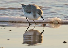 Sanderling   (Sandpiper) (GrahamParryWildlife) Tags: sea reflection bird beach water kent sand wave drip reflected foam dungeness sandpiper dripping gentle sanderling wader lapping kentwildlife grahamparrywildlife
