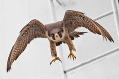 Aiming At Me (Peregrine Falcon) (Mitch Vanbeekum Photography) Tags: beach island flying newjersey long adult flight nj lbi peregrinefalcon canonef500mmf4lisiiusm canoneos1dx canon14teleconvertermkiii mitchvanbeekum