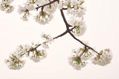 Blooming tree (wolfgang.eslitzbichler) Tags: tree austria nikon ast baum d800 blhen