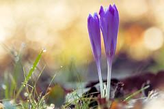 Newlyweds (Sergio '75) Tags: morning winter italy flower macro sergio outside flickr italia bokeh crocus dew february fiori inverno friuli cividale canonefs60mmf28usmmacro crochi spessa boscoromagno canoneos70d sergio75
