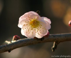 Say what you will about the Ten Commandments, you must always.... (itucker, thanks for 1.9+ million views) Tags: macro blossom bokeh apricot prunus prunusmume apricotblossom omoinomama raulstonarborrtum