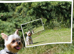 Yorkie in a Spin (ClaraDon) Tags: photoshop droste pixelbender