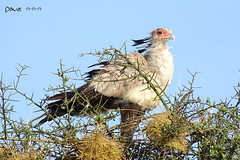 Sekretr ~~ (Dave ***) Tags: dave natur safari kenia baum nahaufnahme vogel greifvogel