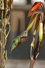 Anna's Hummingbird.  Boyce Thompson Arboretum, Superior, Arizona. (cbrozek21) Tags: bird hummingbird annashummingbird beautifulbird hummingbirdinflight hummingbirdfeeding hummingbirdandflower