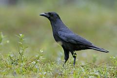 Cao (Corvus palmarum), Hispaniolan Palm Crow (Dax M. Roman E.) Tags: cao ave crow republicadominicana lasal cordilleracentral reservacientificaebanoverde aveendémica corvuspalmarum idez hispaniolanpalmcrow rcev daxroman endémicadelaespañola