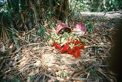 Fallen flower pot in bamboo jungle - Vietnam in Vivitar (Max Chen-Huan Pu) Tags: red flower film bamboo vietnam pot jungle fallen vivitar