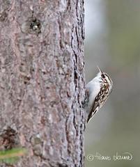 10.3.2016,Puukiipijä, Certhia familiaris (Paavo Laine) Tags: bird lintu pikkulintu puukiipijä