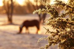 Wonderful morning (evisdotter) Tags: morning light horse animal sunrise frost bokeh hst land sooc gottby