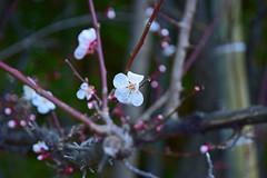 20160303_036_2 (まさちゃん) Tags: 竹 梅 梅の花