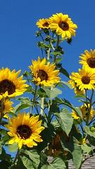 Chaykin - A Splash of Gold (tchaykin) Tags: yellow garden photography gold natural samsung bluesky sunflower organic naturalbeauty soe exquisiteflowers greatshotss allnaturesparadise samsungs4