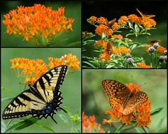 Prairie Garden Collage (hickamorehackamore) Tags: collage butterfly backyard native connecticut wildlife ct habitat swallowtail fritillary tigerswallowtail certified nwf asclepias butterflyweed asclepiastuberosa haddam prairiegarden greatspangledfitillary hostplanttomonarchs
