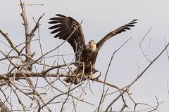 Juvenile Bald Eagle struggles to land - 23 of 27