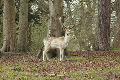 Fallow Deer (Steve Dawson.) Tags: uk england male nature canon eos march is wildlife lincolnshire deer antlers fallowdeer usm ef28135mm buck fallow louth 27th 2016 f3556 50d ef28135mmf3556isusm thorpehall canoneos50d