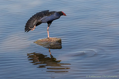 Purple swamphen (kasia-aus) Tags: lake reflection bird nature water animal fan wildlife wing feathers australia canberra ripples stretching purpleswamphen porphyrioporphyrio