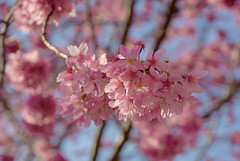 20160306-DSC_5955 (Kay's...) Tags: cherryblossom sakura   wuling wulingfarm