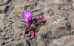 815A1217-2  Budding Wildflowers (hobbitcamera) Tags: wildflowers springwildflowers tabletopmountain tabletopmtn mountainwildflowers orovillecalifornia northtablemountainecologicalreserve