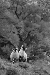 Double Act (ajp~) Tags: trees blackandwhite bw monochrome canon mono scotland sheep perthshire livestock 6d glenlyon canon70300mmf456l alanjohnstone