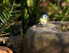 just dipping my toe in (jeannie debs) Tags: blue sun fern bird nature sunshine yellow garden happy countryside spring warm day toe earth secret bluetit dipping cyanistescaeruleus paridae