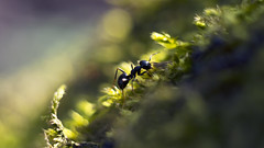 DSC09623 (wiktor_furmaniak) Tags: macro insect bokeh sony ant m42 helios44m passionphotography simplysuper absolutelyperrrfect allnaturesparadise alpha65