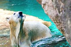 Female Polar Bear, Tsuyoshi of  Yokohama Zoological Gardens :  (Dakiny) Tags: bear park white nature animal japan female mammal zoo spring nikon outdoor polarbear april yokohama tamron kanagawa 2016 zoorasia tsuyoshi a005 platinumheartaward d7000 nikonclubit modela005 sp70300mmf456divcusd asahiward yokohamaparkzoologicalgardens