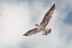 Freedom (Marua erjal) Tags: bird nature flying seagull tenerife canaryislands