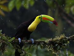Keel-billed toucan in the Rain (megpuente (sporadic temporarily)) Tags: bird nature rain toucan avian keelbilledtoucan ramphastossulfuratus beautifulbird rainbowbilled sulfurbreasted megpuente rainbowbill