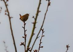 Wren (Everetts Imagery) Tags: nature birds canon wren mkii gardenbirds 100400 ukwildlife