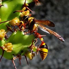 Slender-waisted Adapter. Red-waisted Potter Wasp, Delta campaniforme, Mangsit, Senggigi, Lombok, Indonesia (Rana Pipiens) Tags: cactus wasp adaptation potterwasp deltacampaniforme