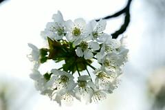 Weie Baumblte (Lutz Blohm) Tags: blumen blte frhling blten wiesenblume sonyalpha7aiimit24240mm