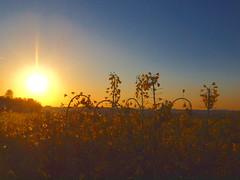 rapeseed field in morning sun P4248055 (hans 1960) Tags: morning blue sky sun sol nature yellow sunrise germany atardecer soleil colours outdoor natur himmel gelb april blau sonne farben rapsfeld rapefield