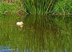 Lost in reflections ( Annieta ) Tags: bird netherlands yellow jaune duck spring sony duckling nederland april lente geel oiseau eend allrightsreserved vogel 2016 krimpenerwaard annieta a6000 caneron usingthispicturewithoutpermissionisillegal
