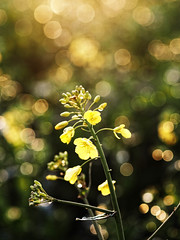 2016-04-30_20-11-34 (torstenbehrens) Tags: camera flower nature digital bokeh sigma olympus 60mm blte raps f28 gegenlicht dn on1 ep5 on1pic