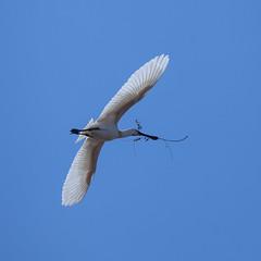 Les ailes dployes (sviet73) Tags: france nature animal vol blanche oiseau picardie spatule parcdumarquenterre