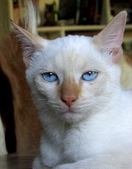 Ghost (CatnessGrace) Tags: blue cats white portraits chats feline chat blueeyes siamese gatos gato felines katze gatto katzen siamesecats whitecats petportraits catportraits animalportraits gattini blueeyedcats whitekittens siamesekittens kittenportraits