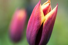 Zwillinge - Twins (ralfkai41) Tags: flowers plants nature tulips outdoor natur blossoms pflanzen blumen tulpen blten