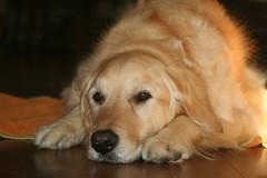 Sunny 18/52 (Lianne (calobs)) Tags: dogs goldenretriever for weeks 52