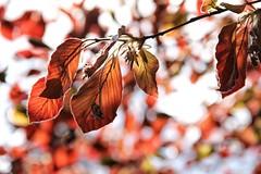 verzaubernd schn (***toile filante***) Tags: light red sun sunlight tree rot licht spring warm bokeh leafs emotions sonne bltter frhling gefhl sonnenlicht wrme