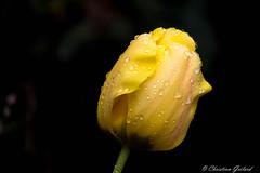 After the rain. (christian.grelard) Tags: flower water fleur rain yellow jaune canon plante eos petals spring eau pluie tulip printemps tulipe gouttes pétales 700d canonfrance