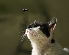 Cat and bee (Dragan*) Tags: eye nature animal cat garden insect fly outdoor bee moment curiosity