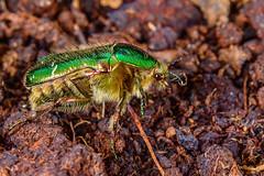 Cotinis Nitida Hairiness (kanaristm) Tags: green june canon bug spring nikon beetle nitida greenbug canon500d cotinisnitida cotinis junbug kanaris d800e kanaristm tmkanaris kanarist tkanaris copyright2016tmkanaris copyright2016kanaristm