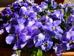 Purple Pansies (anemone54) Tags: plants flower purple outdoor lila bloom flowerpot viola tontopf springflower violaceae gartenstiefmtterchen violawittrockiana frhlingsblume terrakottatopf