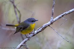 Eastern Yellow Robin (Graham Mahoney) Tags: canon is 300mm ii f28 1dmarkiv 1dm4