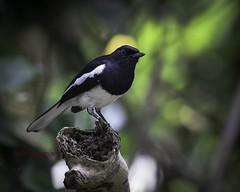 Oriental Magpie-Robin. Murai kampung (Tok Ki, an idiot with cameras. (1 mil viewers)) Tags: wildlife natura tokki pungut birdperfect