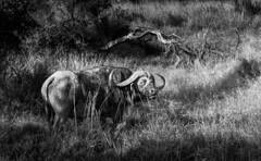 Buff in the bush (Sheldrickfalls) Tags: southafrica buffalo krugernationalpark mpumalanga krugerpark kruger sabisands buffalobull greaterkruger