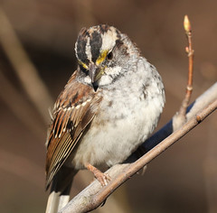 White-throated Sparrow (Redtail10025) Tags: park nyc white birds spring central sparrow migration throated whitethroated