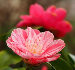 camelia (quarzonero ...Aldo A...) Tags: flowers nature spring camelia fiori coth coth5