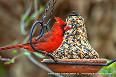 One more ... (Explore 2016-04-09) (NancySmith133) Tags: northerncardinal centralfloridausa backyardbirds inexplore