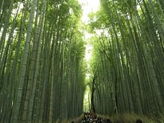 Bamboo Grove (Northern_Night_Sky) Tags: green japan kyoto bamboo arashiyama    bamboogrove