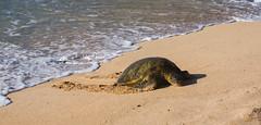 Greenback Turtles (ArneKaiser) Tags: beach cheloniamydas greenbackturtles hawaii hookipa hookipabeach maui mauicollection sea turtles flickr